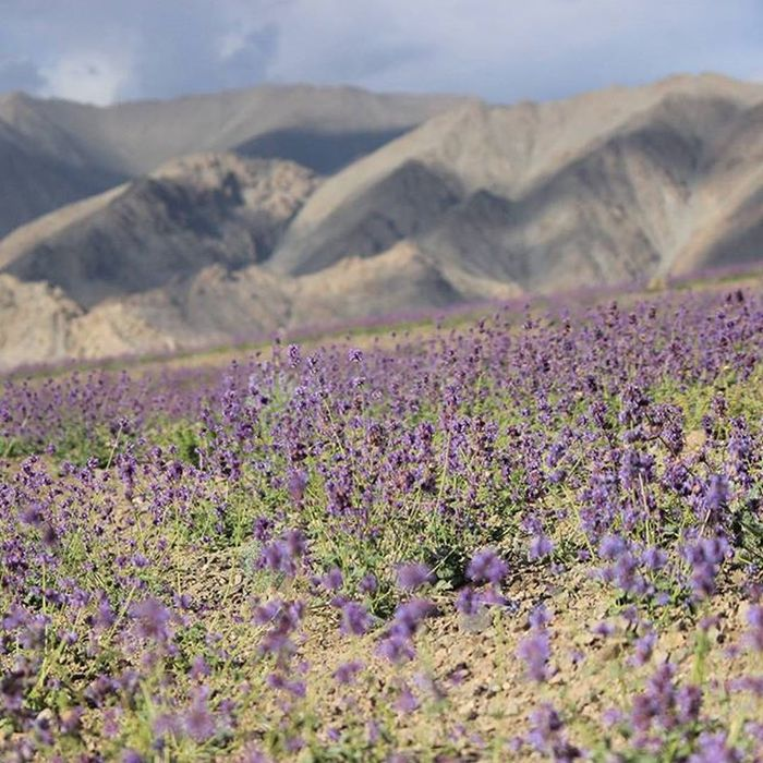That's Leh for you !!!!! Awesomeness everywhere you look around.... Leh Ladakhdiaries Flowers Mountains Ladakhdiaries Indiantourism Incredibleindia Picoftheday PicturePerfect Nofilter Canon 650d PicturePerfect Picoftheday