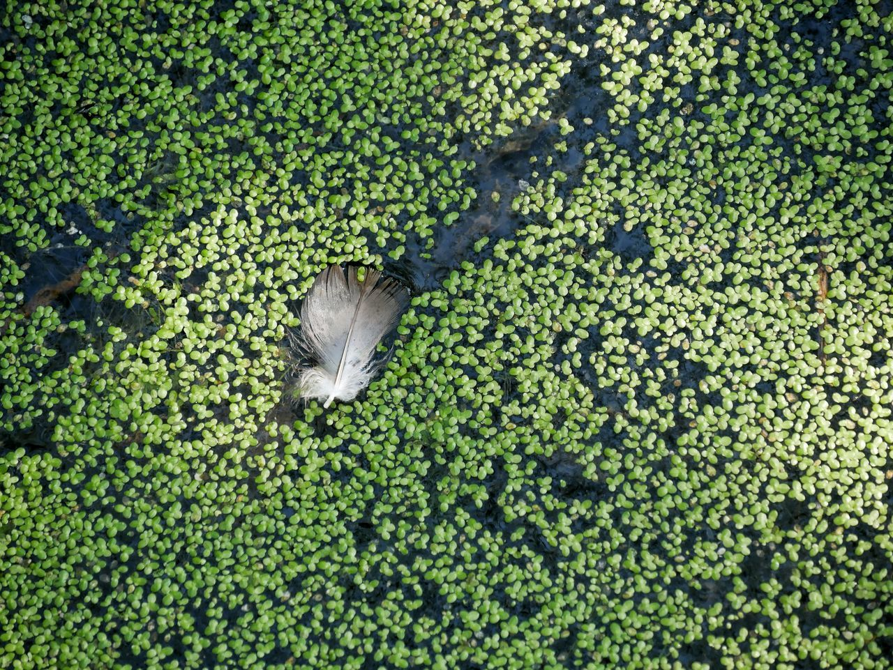 A feather in a pond with lots of algea. Abstract Beautiful Nature Pond Life Pond Algae Feather  Fallen Feather Green Color Green Nature Zen Artistic Expression Simplicity Simple Beauty Minimalism Panasonic Lumix Dmc-gx85 Louisville Colorado Pivotal Ideas A Birds Eye View