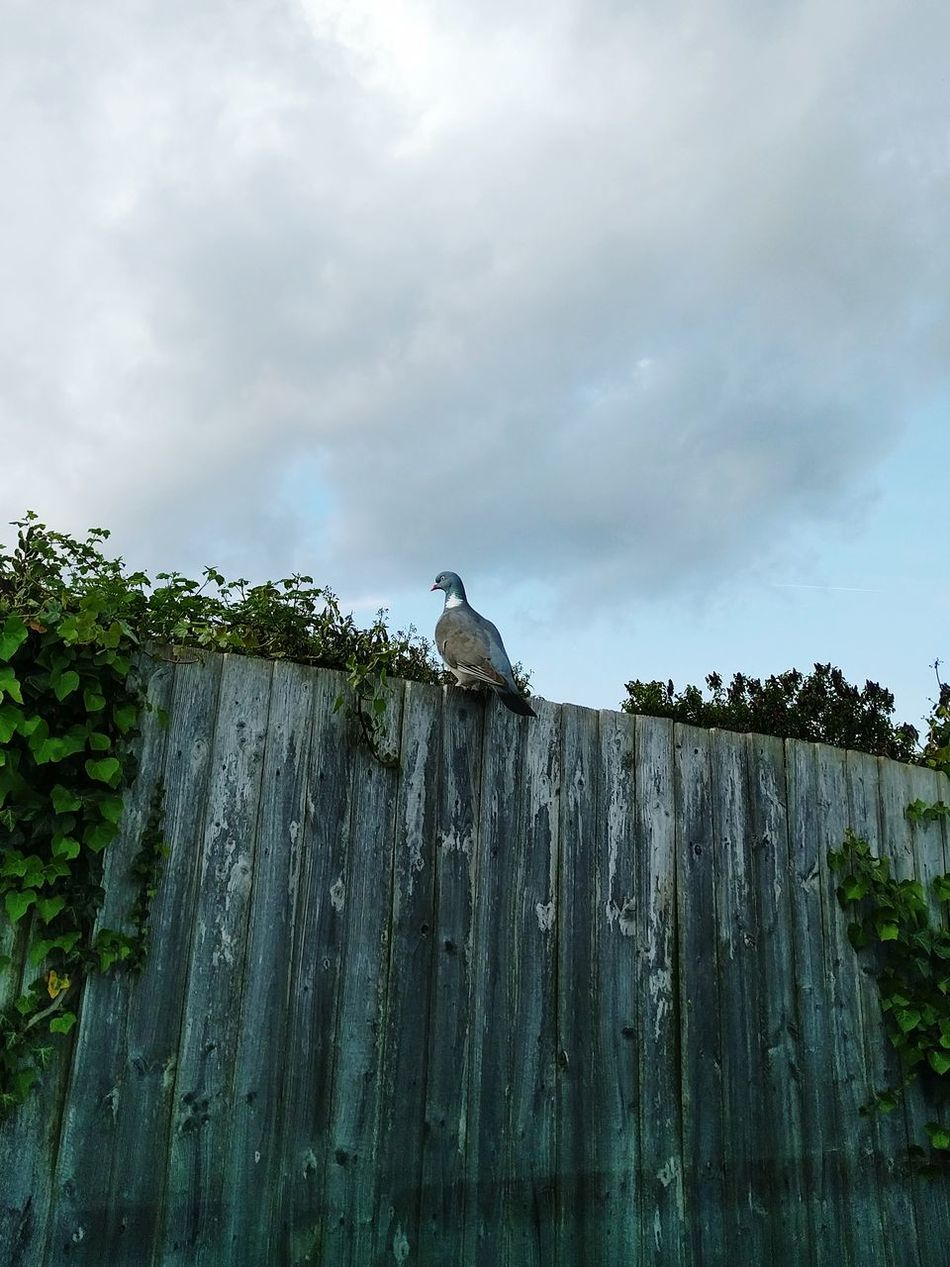 Pigeon on a Fence Tree Cloud - Sky Outdoors No People Day Nature Sky Pigeon Pigeonslife Bird Animal