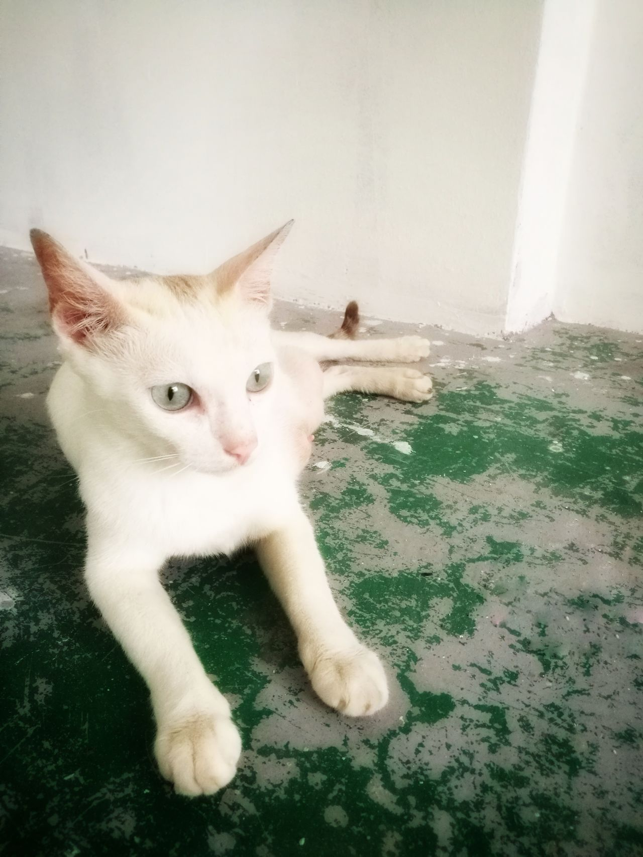 Domestic Cat One Animal Pets Domestic Animals Animal Themes Indoors  Mammal Cat HuaweiP9 Huawei P9 Plus Homeless Cats Homeless Animal Huaweiphotography Homeless Animal Green Color Hua Wei P9 Plus Homelessness  Homeless Cat