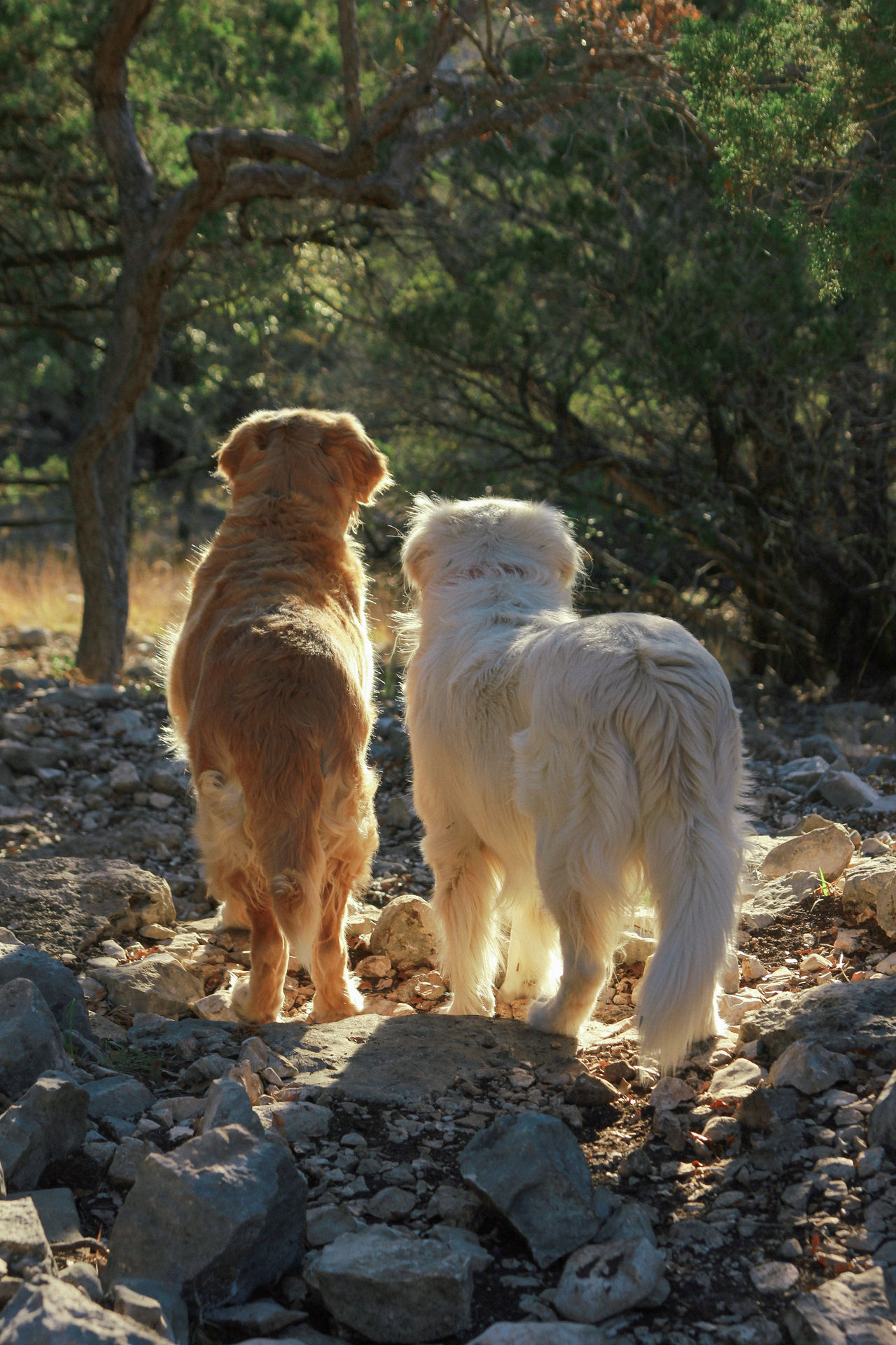 Brothers Buddies Dogs Domestic Animals Friends Friendship Golden Golden Hour Golden Retriever Hiking Hill Country Pair Of Dogs Puppy Puppy Love Ranch Ranch Life Rocks Siblings Summer Texas Together Together Forever Two Dogs