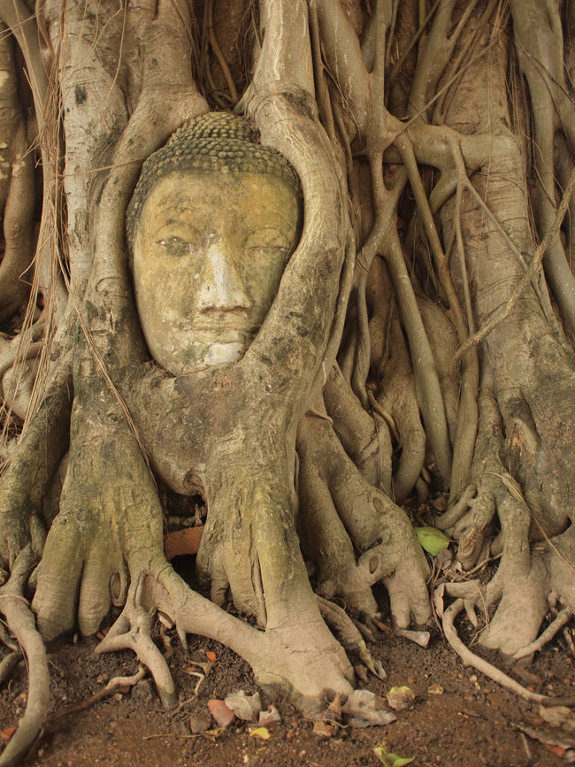 ASIA Ayutthaya Bizarre Bodhi Tree Buddha Buddhism Decapitated HEAD Historical Park Place Of Worship Roots Southeast Asia Spotted In Thailand Statue Strangled Strangler Fig Thailand Travel Tree Wat Mahathat