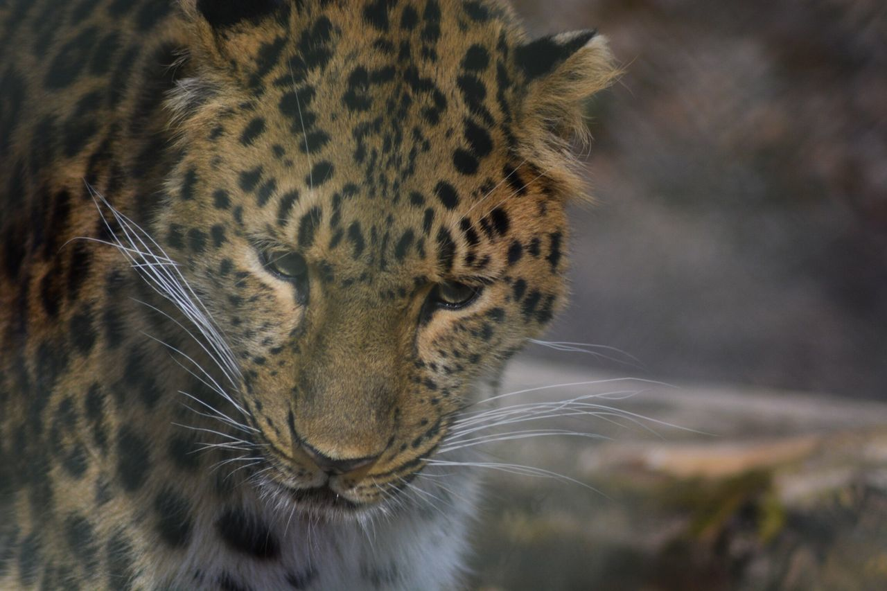 Persian Leopard Nordens_Ark Animal Themes Big Cat Close-up Leopard
