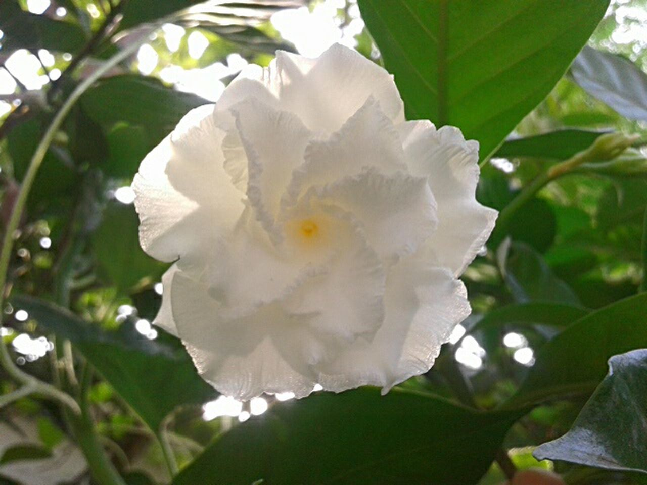 flower, petal, white color, beauty in nature, nature, growth, fragility, day, flower head, blooming, leaf, outdoors, plant, freshness, close-up, no people, wild rose, tree