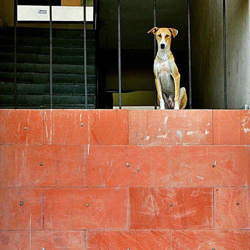 Hindustan_times big problem of citys Stray Dog Dogs Straydog Roadsideattraction Roadsideromeos City_beautiful Problems Indianstories Instasize Instadaily InstawithHT Daily Life Chandigarh Photogrid Photographer Wall Window Sunday