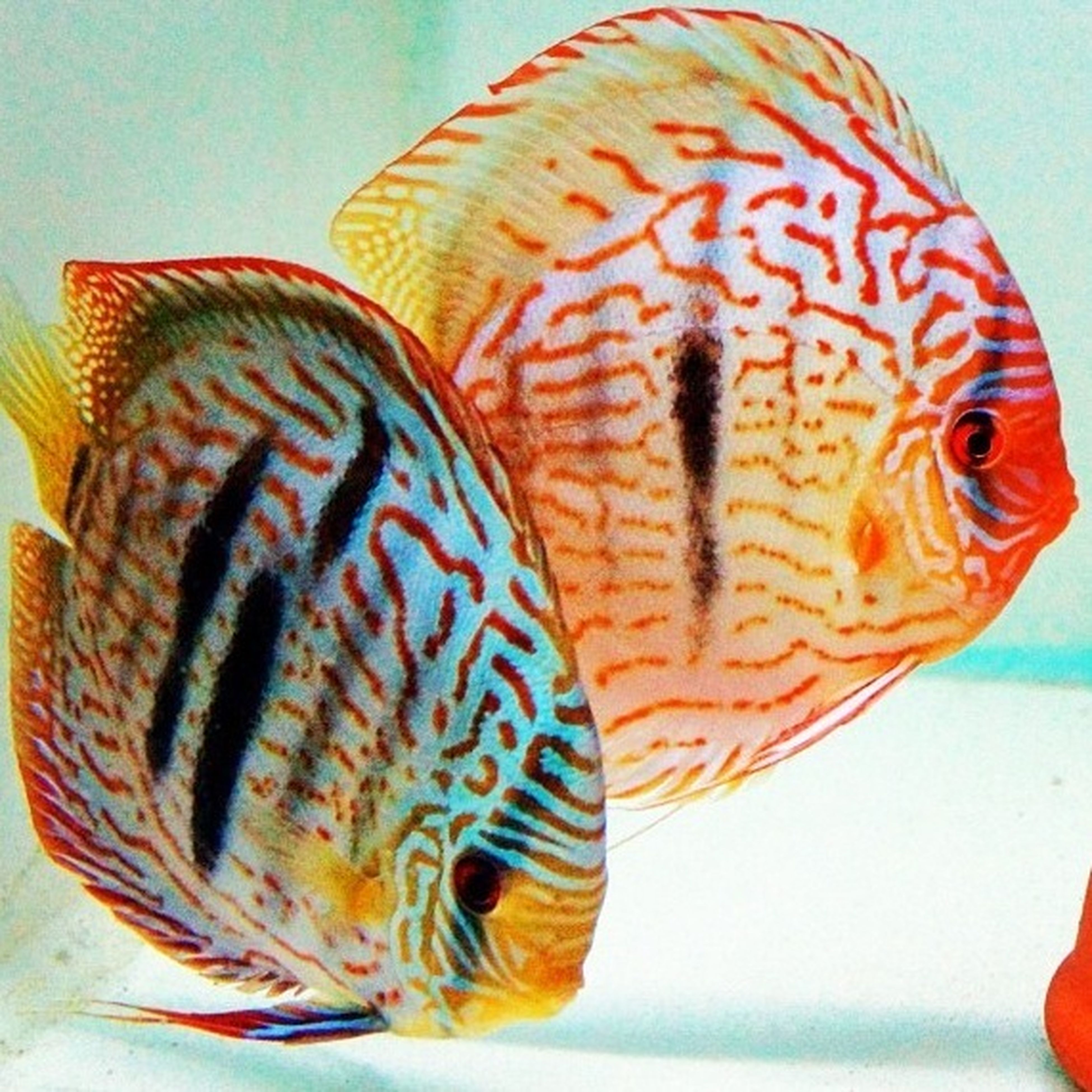Discus Twins