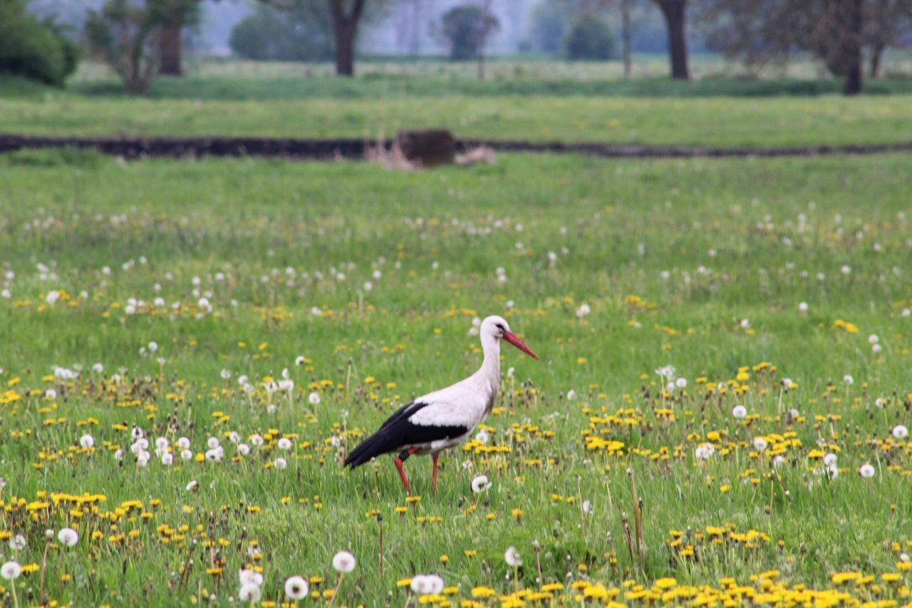 bird, field, grass, one animal, nature, flower, animal themes, green color, day, animals in the wild, growth, plant, focus on foreground, beauty in nature, outdoors, no people, animal wildlife, perching