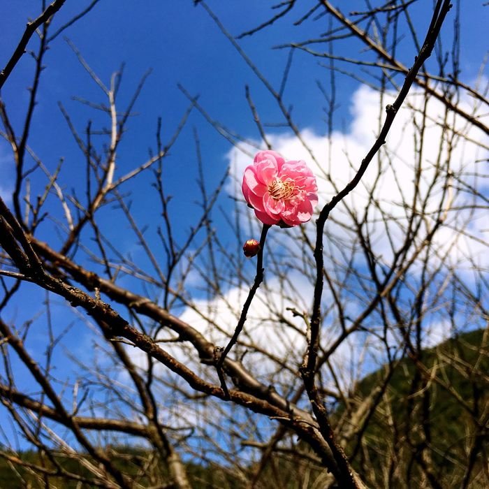The first plum blossom of this winter Flower Growth Beauty In Nature Pink Color Tree Outdoors Freshness Plum Blossom Nice Day Traveling The Great Outdoors - 2016 EyeEm Awards The First Fower Winter Landscape