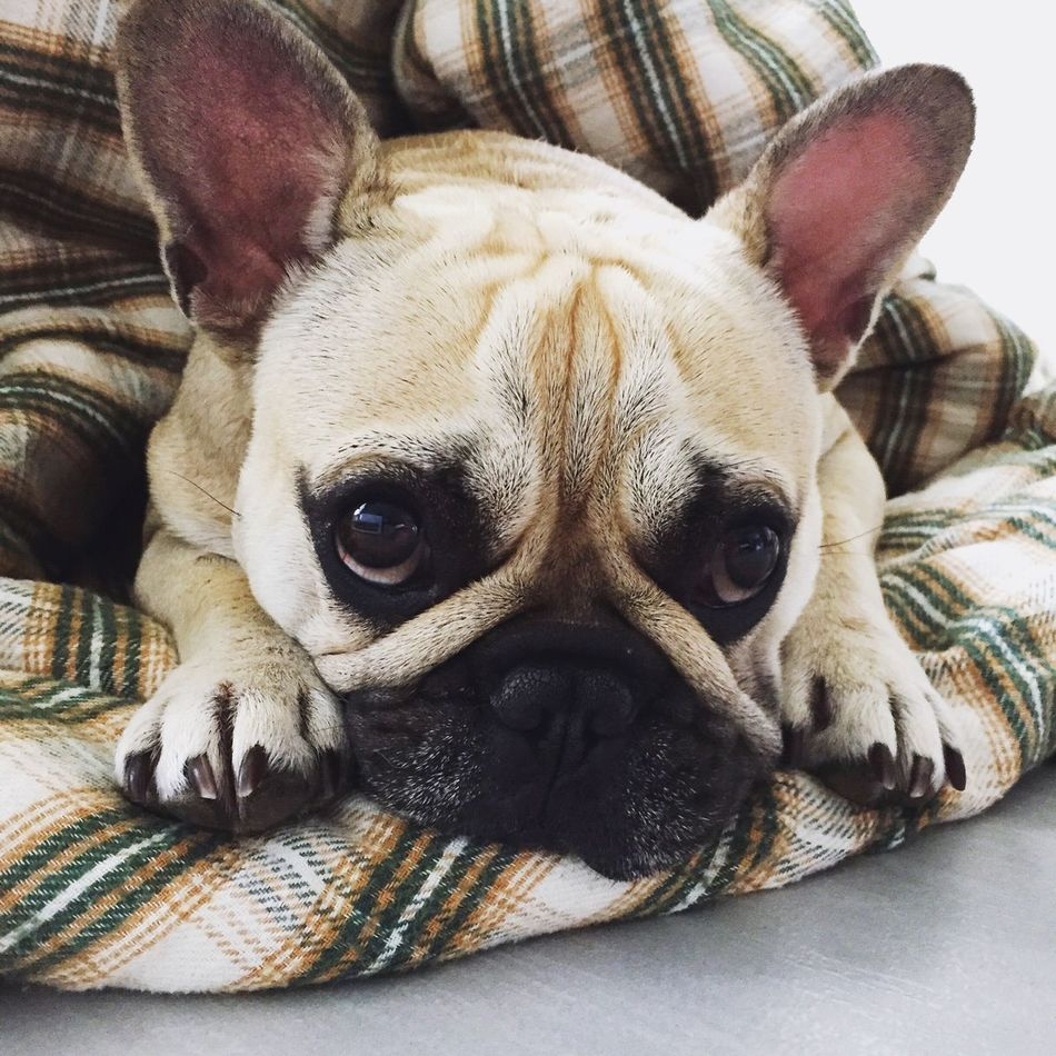 Relaxing Sunday Morning One Animal Animal Themes Pets Domestic Animals Dog Looking At Camera Portrait Close-up Animal Head  Resting Indoors  Frenchbulldog Love It Bullies Cosy Always Be Cozy