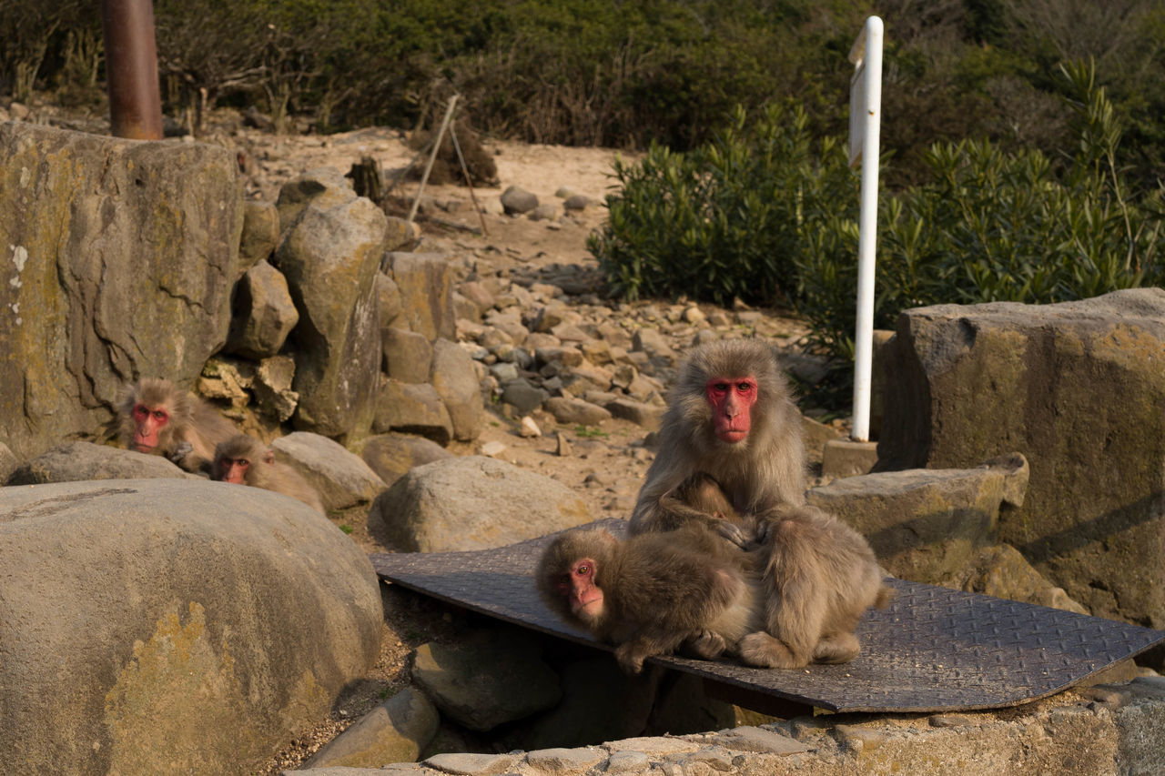 Japanese Macaques On Field