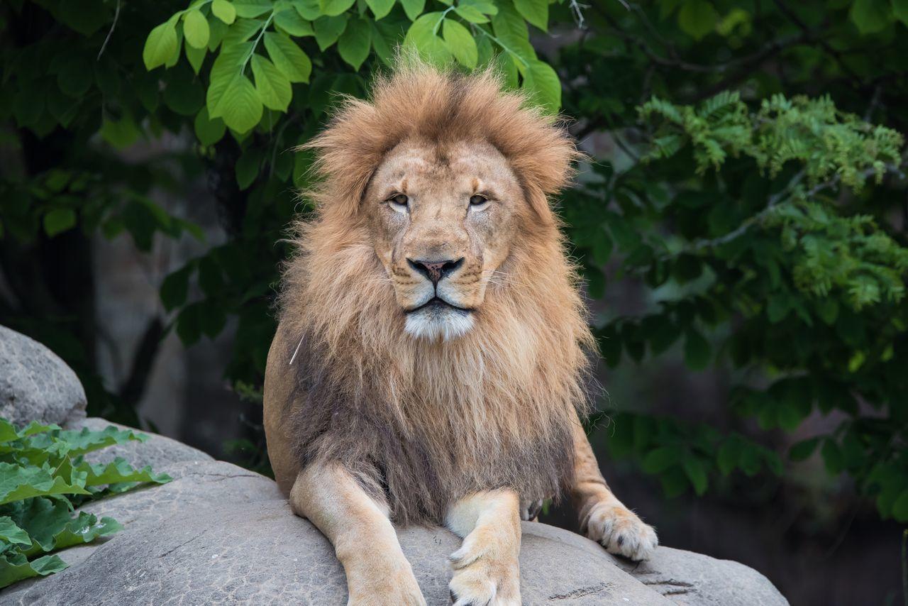 Beautiful stock photos of löwe,  Animal Wildlife,  Animals In The Wild,  Carnivora,  Cheetah