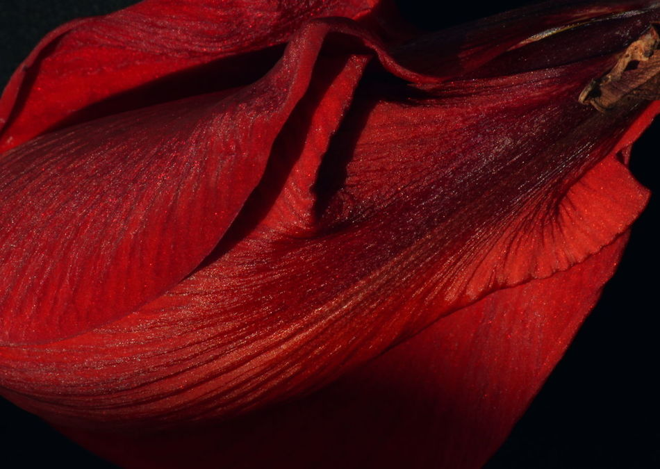 Velvety soft petals and passionate shades of red caress the velvety surface of this beautiful flower. Black Blood Carmine Close-up Color Colorful Crimson Darkness Feel Flower Maroon Nature Passion Petal Plant Red Romance Romantic Ruby Scarlet Shades Shadows Texture Velvet Wine