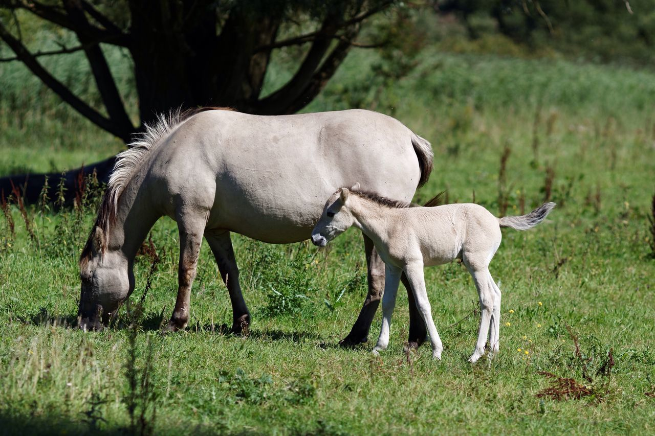 Newly Born Konik Horse with Mother Nature On Your Doorstep Animals In The Wild In The Woods Walking Around Young Nature