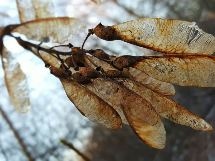 Close-up Focus On Foreground Winter Branches And Leaves Tree Beauty In Nature Nature Maple