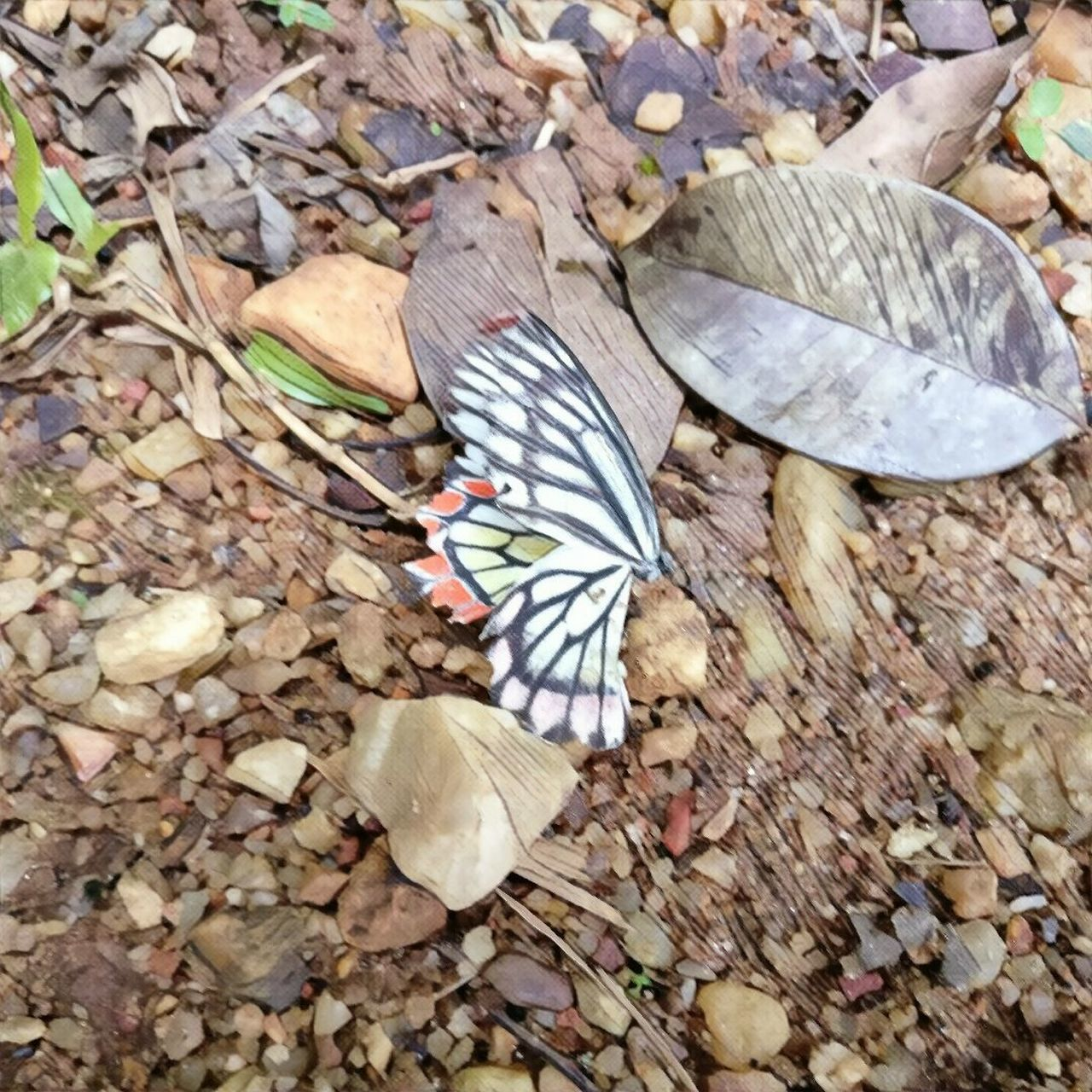 leaf, animal themes, insect, butterfly - insect, one animal, animals in the wild, nature, close-up, no people, high angle view, outdoors, day, fragility, butterfly, animal wildlife, animal markings, beauty in nature, spread wings