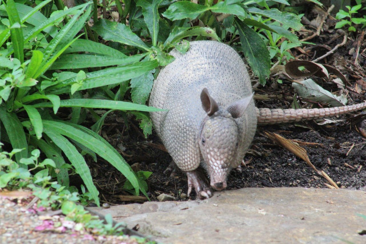 One Animal Outdoors Plant Animal Themes Field Animal Wildlife Nature No People Day Animals In The Wild Growth Portrait Close-up Armadillo Armadillo In The Woods Armadillophotography Canon_photos Photographic Memory Canonphotography My Hobby 😁 MyPhotography
