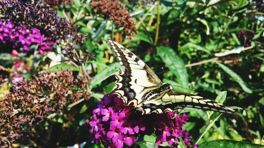 Butterfly Butterflyporn Flower & Butterfly