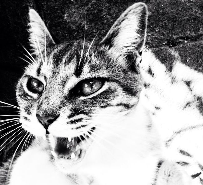 Somedays... Cat♡ Angry Cat Theeth