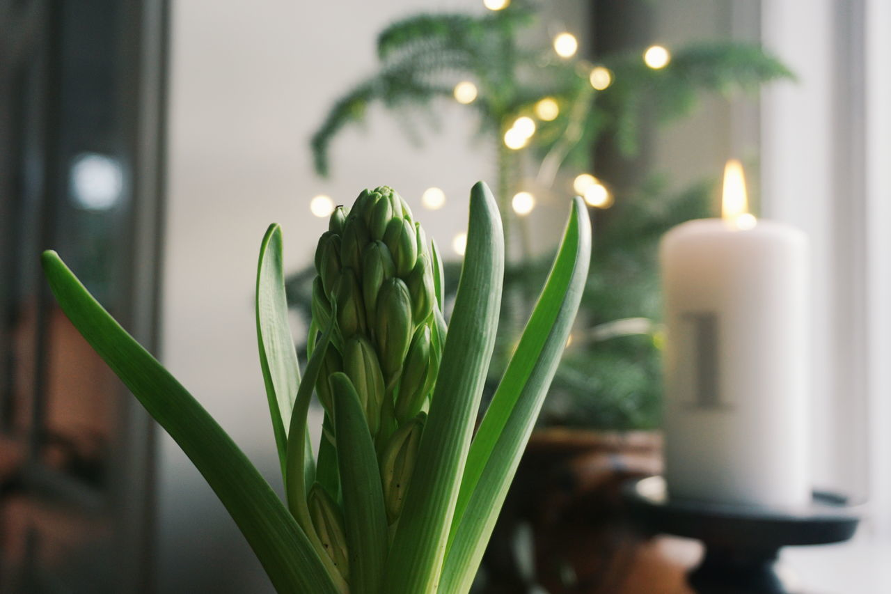 First sunday in advent Growth Green Color No People Indoors  Close-up Freshness Nature Day Home Interior Christmas Flower Home Still Life Christmas Decorations Christmas Lights Advent Advent Season Advent Candle Advent Light First Sunday Of Advent Christmastime Christmas Around The World Christmas Tree Candles Candlelight Freshness