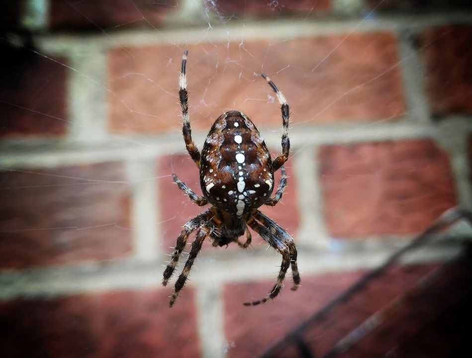 Araneus diadematus - Spider Spider Web Close-up Insect Animals In The Wild Survival Cute Cute Pets Cute♡ Cuteness Cute Animals Troll Tactical Animal Wildlife Nature Naturelovers