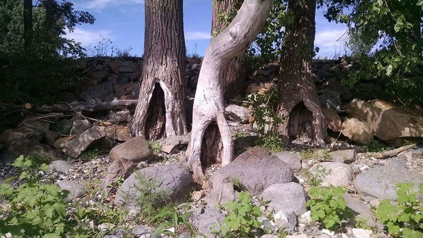 Shore line along Lake Champlain in New York. Tree Tree Trunk Growth Nature Outdoors No People Day Cactus Pinaceae WoodLand Pine Tree Plant Forest Landscape Beauty In Nature Scenics Tree Area Sky
