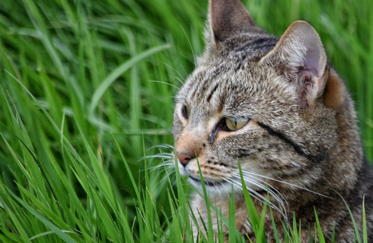 one animal, animal themes, grass, domestic cat, feline, mammal, no people, whisker, day, domestic animals, close-up, pets, green color, outdoors, nature