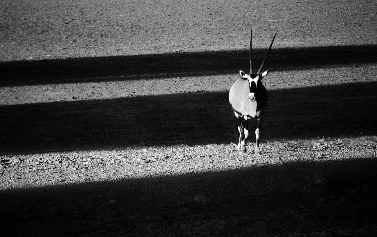 Africa Afrika Antelope Day Etosha Etosha National Park Gazelle Namibia One Person Oryx Oryx Gazella Outdoors People Real People Shadow Sunlight