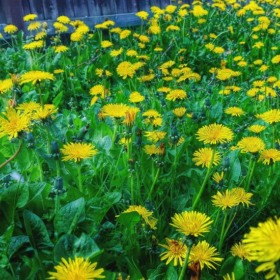 Yellow Nature Mobilephotography Enjoying Life Spring! Relaxing