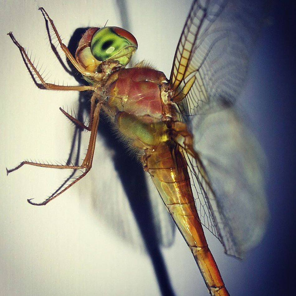 Dragon mother + Fly father = Dragonfly offspring. Lulz Phonecam Colourful Burstofcolours Cropped version. :)