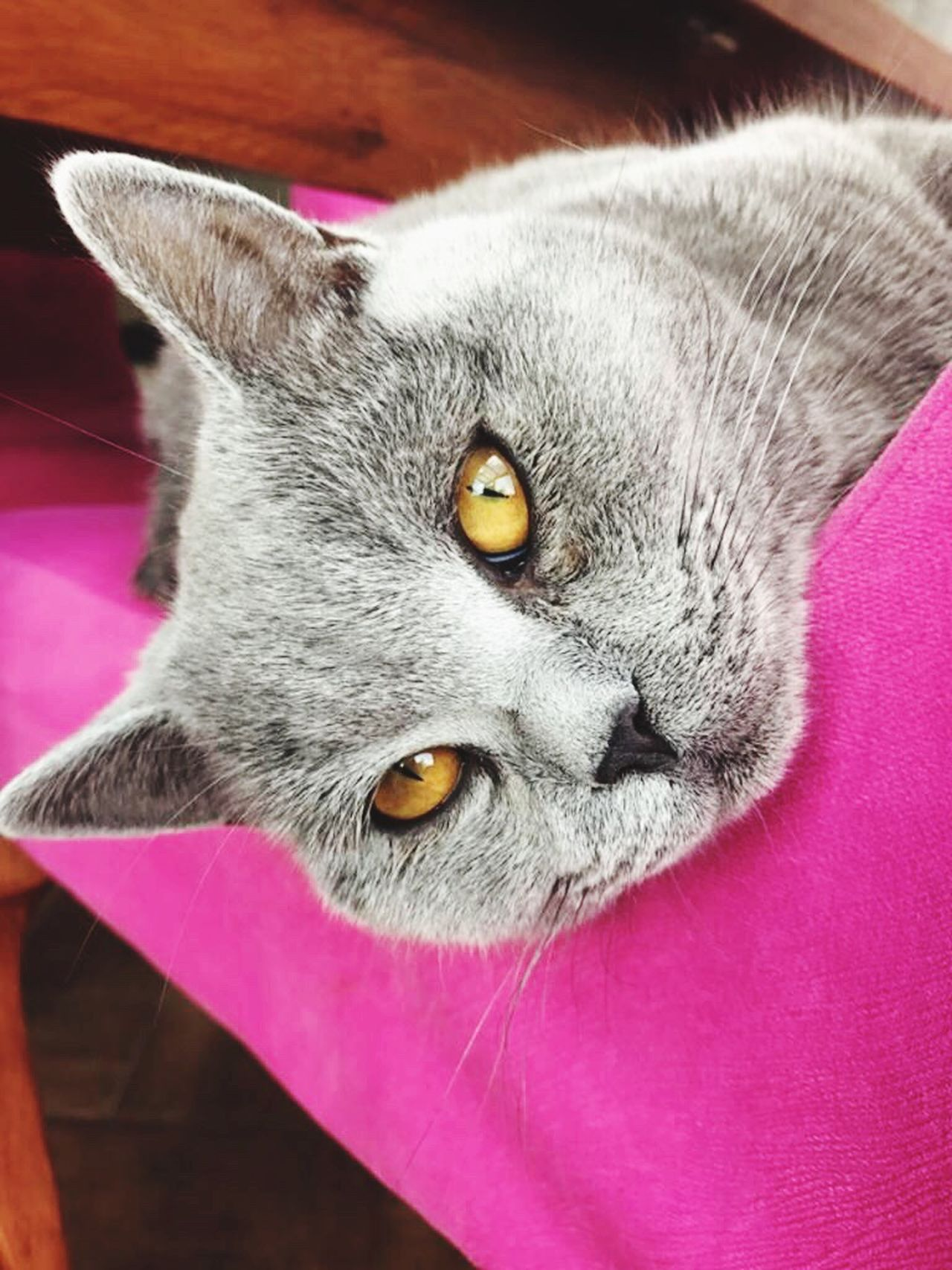 Cat in pink Pets Domestic Cat Domestic Animals One Animal Feline Mammal Portrait Cat Looking At Camera Indoors  Whisker No People Close-up Yellow Eyes Day