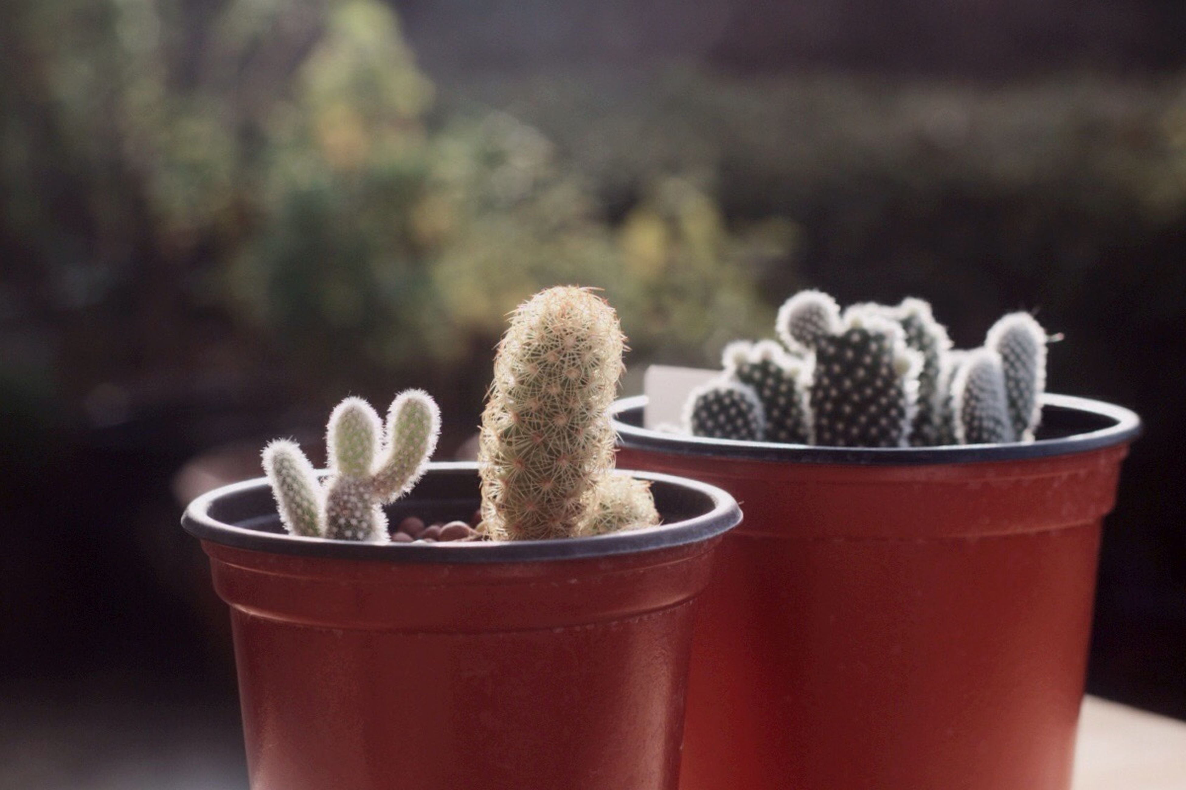 close-up, freshness, focus on foreground, potted plant, flower, food and drink, plant, growth, still life, indoors, table, cactus, selective focus, no people, healthy eating, day, container, fragility, nature, sunlight