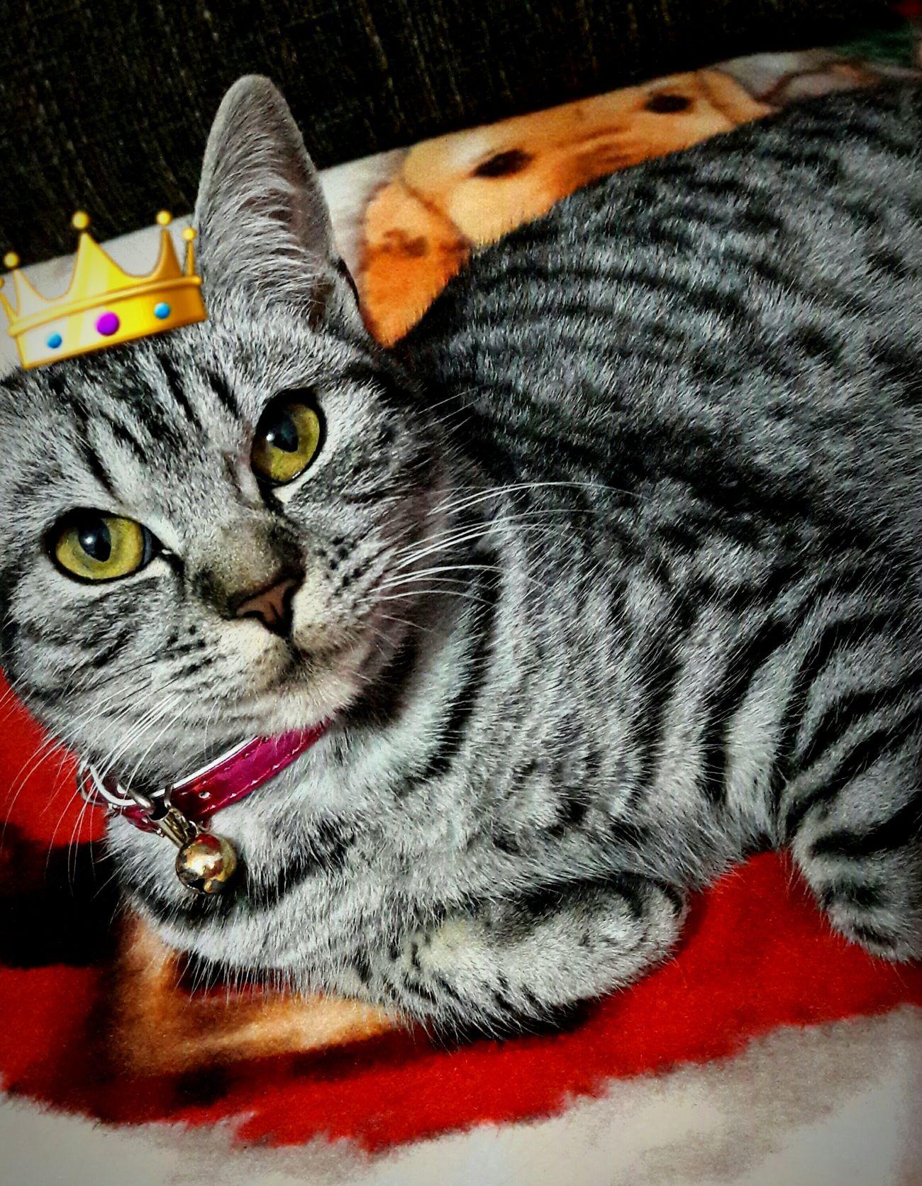 Cats are royal pets❤ Feline Pets Lovely Misha Kitty First Eyeem Photo