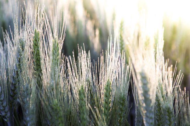 43 Golden Moments Wheat Wheat Field