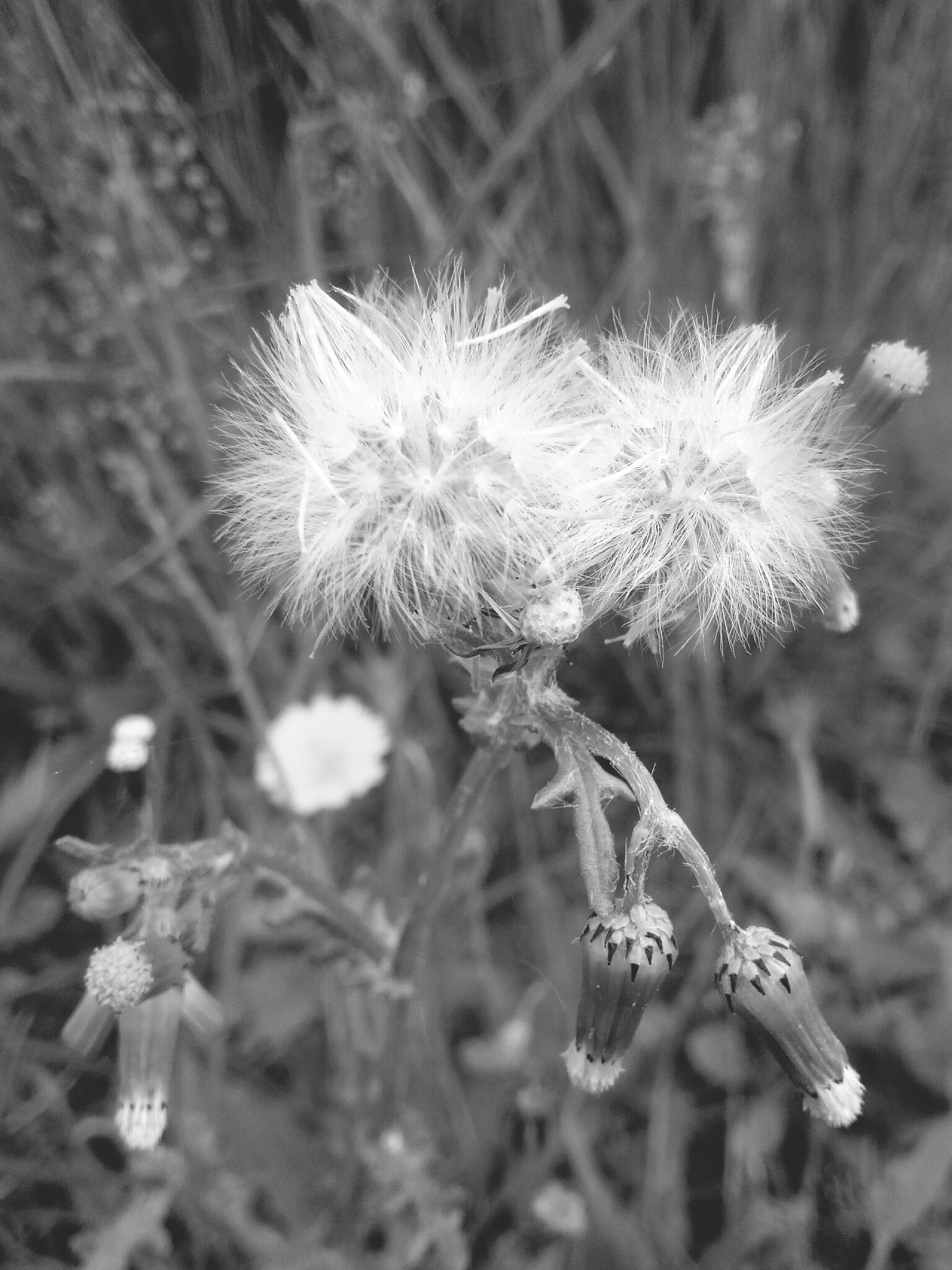 flower, fragility, growth, freshness, close-up, flower head, focus on foreground, beauty in nature, nature, plant, stem, petal, blooming, dandelion, in bloom, wildflower, white color, pollen, selective focus, outdoors
