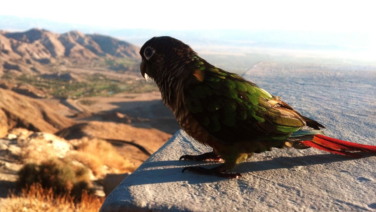 Burdy looking out over lookout point above Palm Desert Taking Photos Hanging Out My Pets :) Bird Photography Birds🐦⛅ For The Love Of Birds
