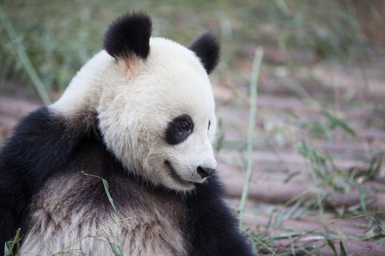 Beautiful stock photos of bear, Animal Behavior, Animal Themes, Animals In The Wild, Bear