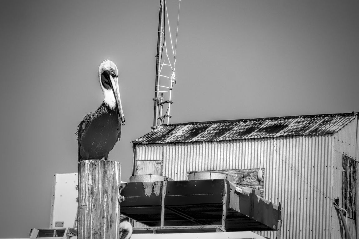 Chillin' Animal Themes Animals In The Wild Bird Black And White Bnw_collection Inlet Waters Intracoastal Waterway No People Outdoors Pelican Love Pelicans On Posts Perching Sonya6000