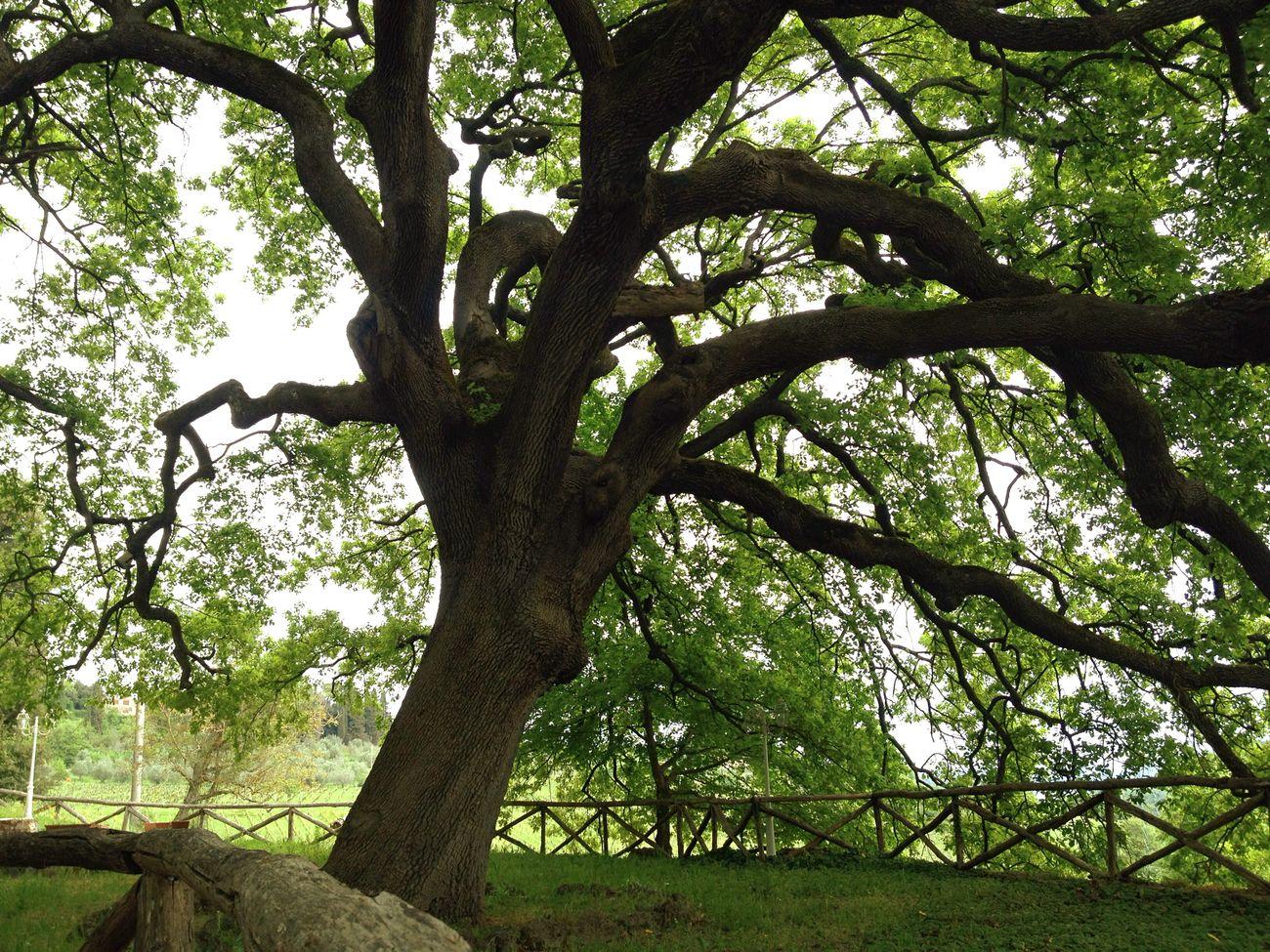 Trees Quercia Green