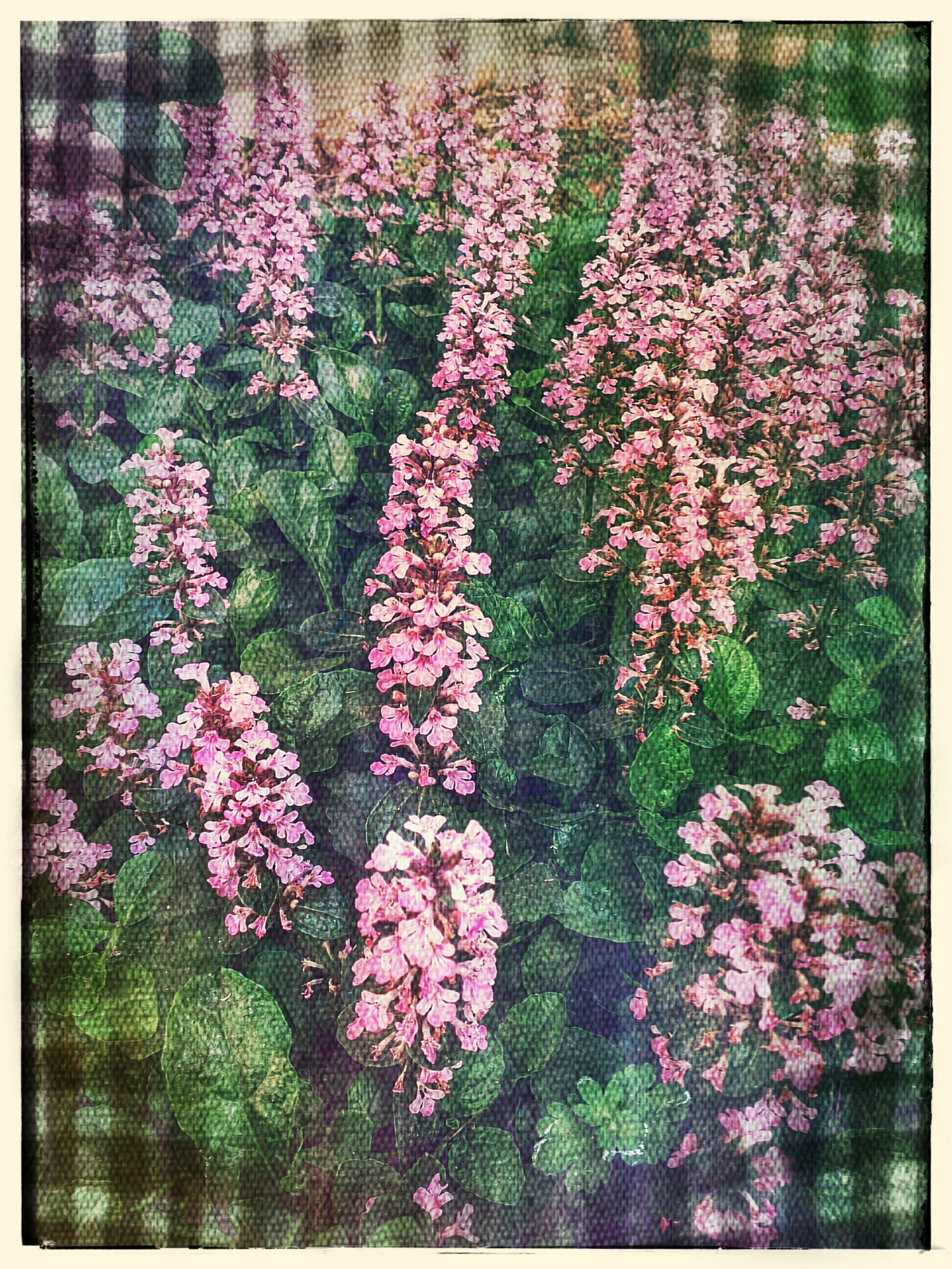 flower, transfer print, freshness, fragility, growth, beauty in nature, auto post production filter, pink color, petal, nature, blossom, blooming, in bloom, plant, flower head, springtime, botany, pink, purple, outdoors