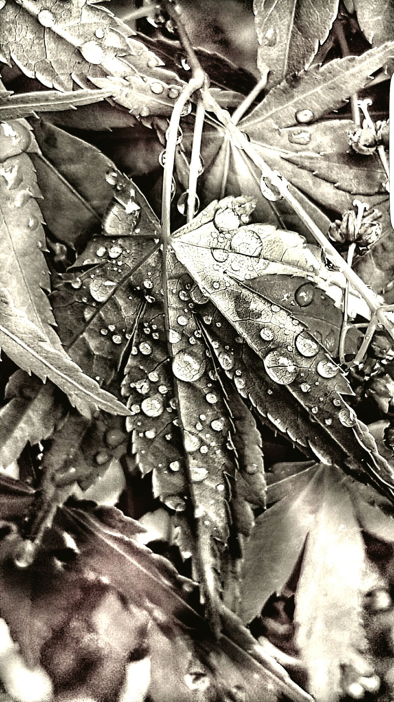 Bokeh Maple Leaf With Rain Drops Water Drops Leaf Drop Season  Water Wet Close-up RainDrop Leaf Vein Selective Focus Dew Fragility Nature Leaves Freshness Beauty In Nature Grayscale Old Photo Drastic Edit Perspective Personal Perspective