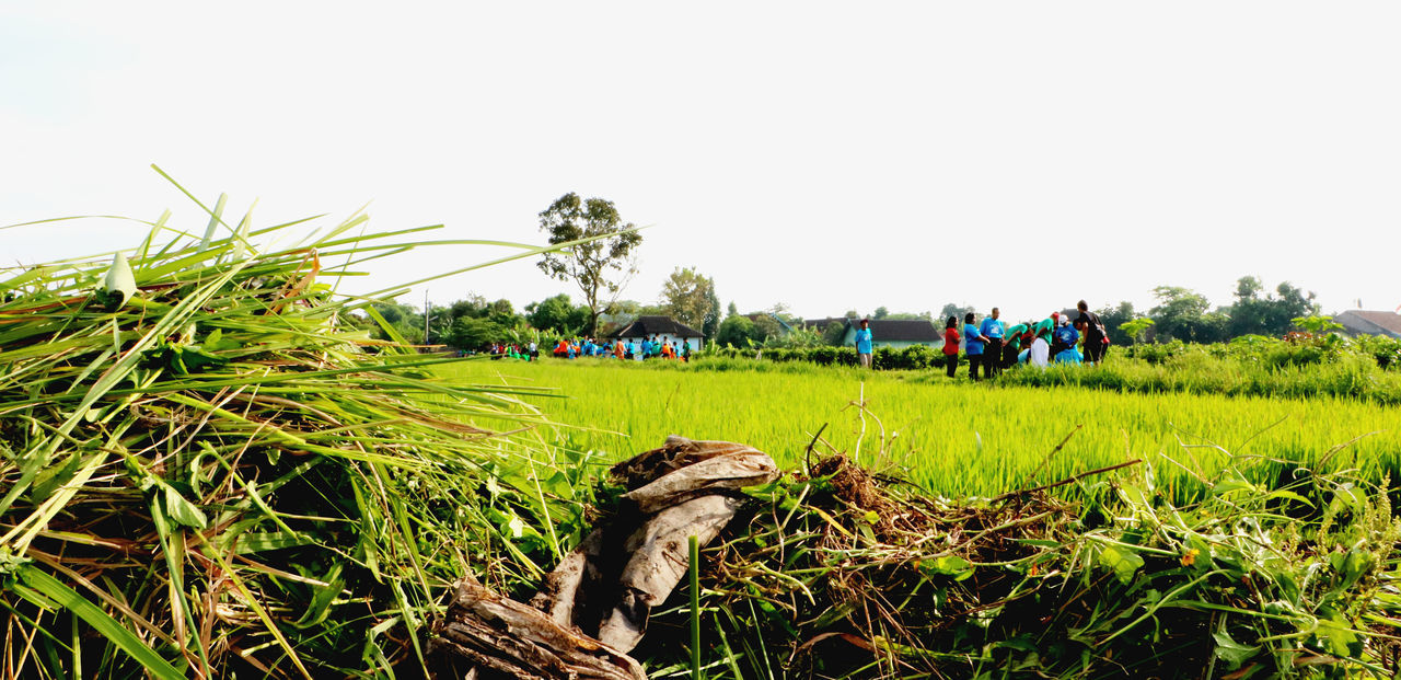 field, growth, agriculture, clear sky, nature, day, green color, tree, outdoors, grass, beauty in nature, real people, large group of people, sky, landscape, rural scene, men, freshness, people
