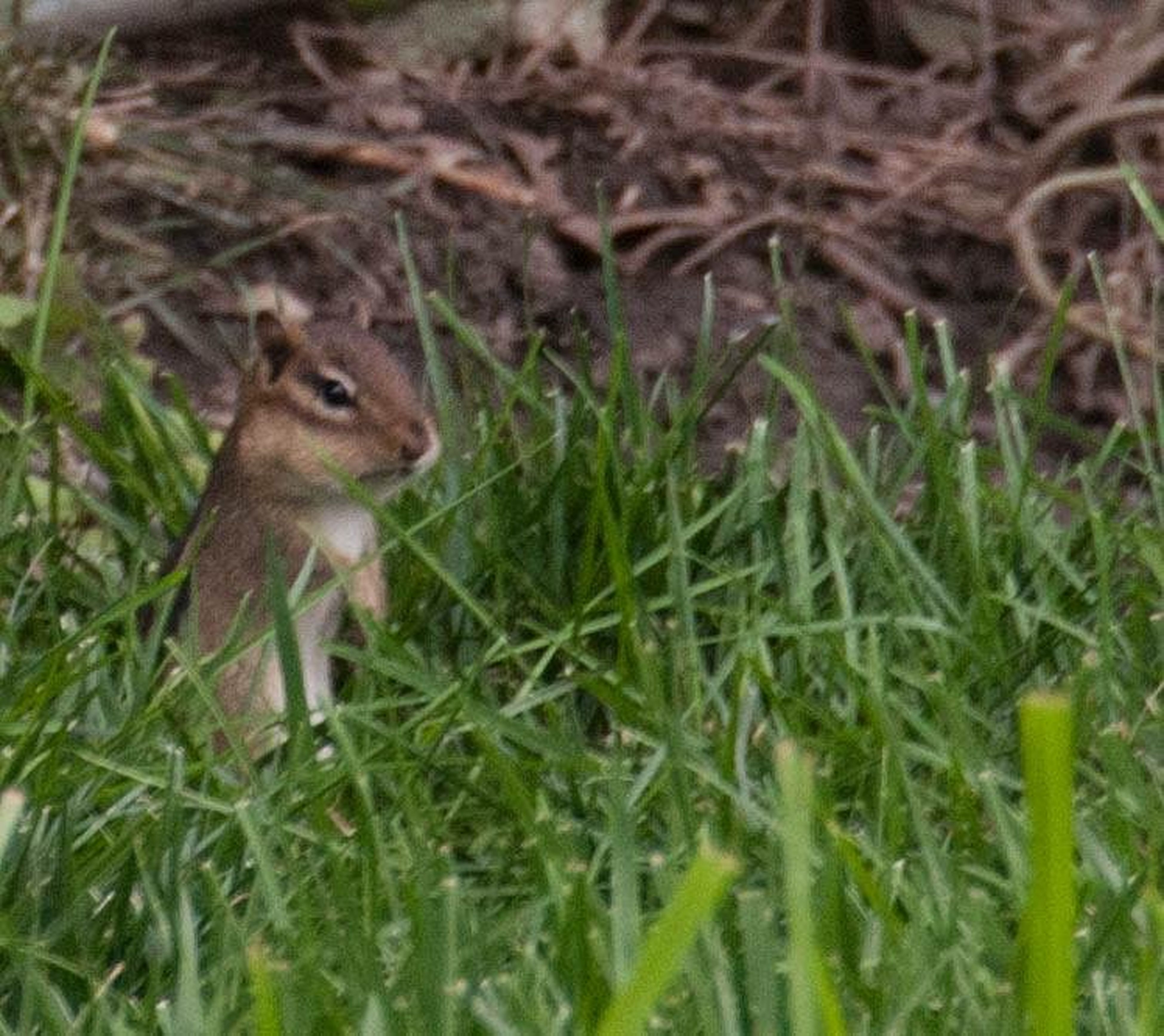 animal themes, one animal, animals in the wild, wildlife, grass, mammal, field, green color, nature, selective focus, plant, outdoors, day, growth, grassy, no people, young animal, squirrel, full length, sitting