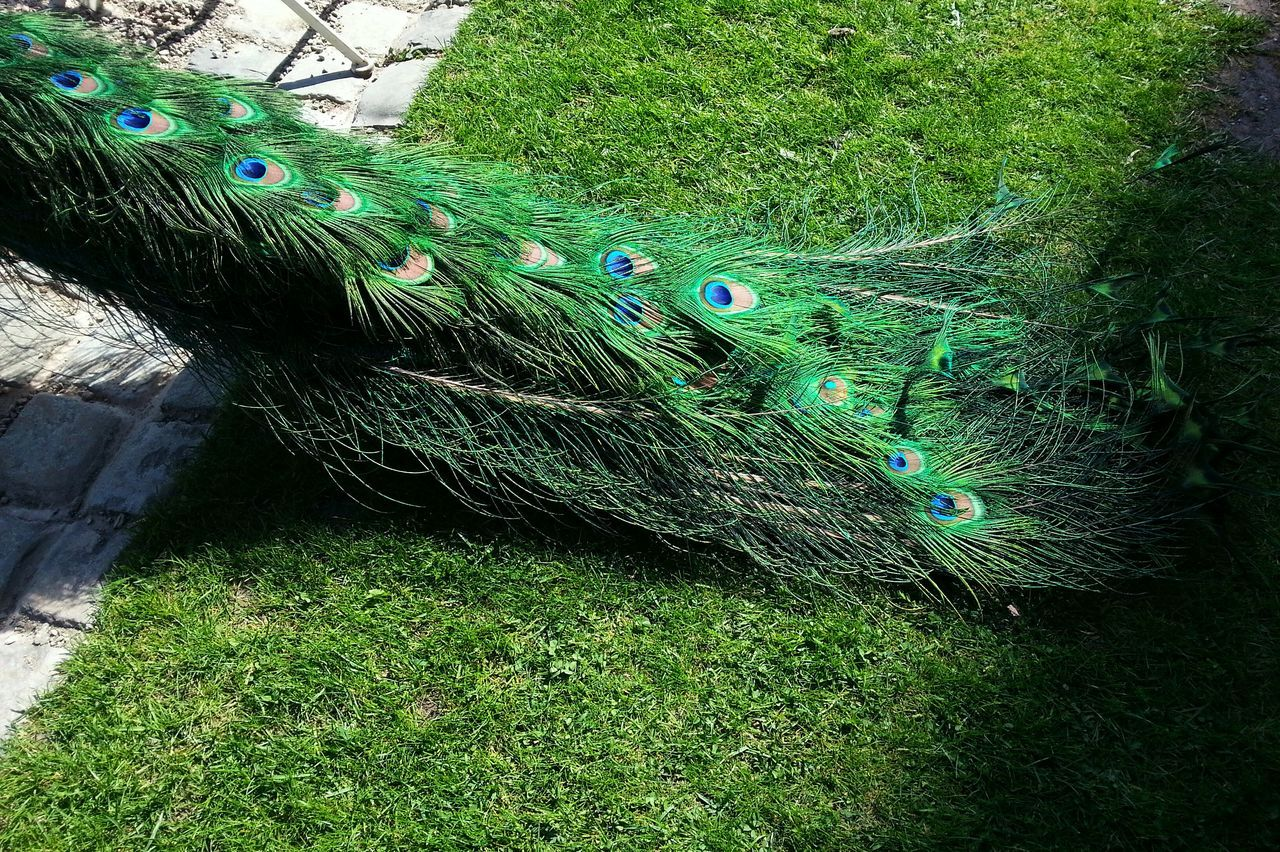 Green on green... Green Color No People Close-up Backgrounds Nature Day Outdoors Beauty In Nature Tail Bird Park Lawn Grass Summer Britain Wales Sunny Shadow Avian Peacock Peacock Feather Peacock Feathers Peacock Colors Peacock Tail