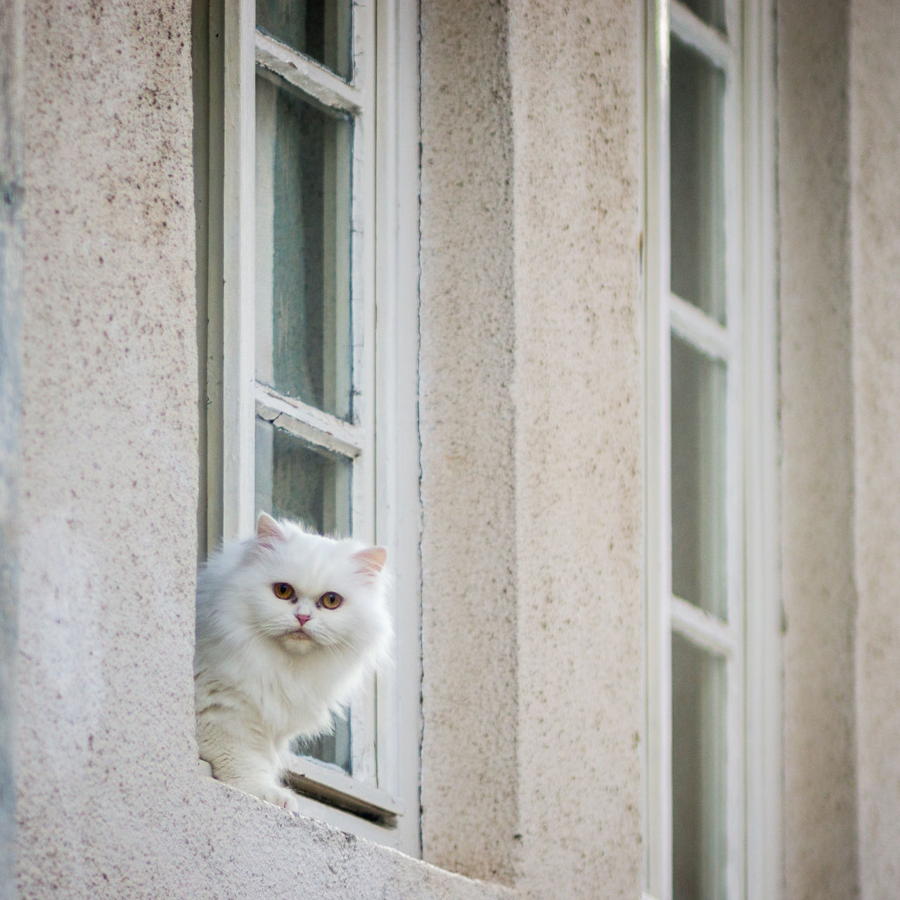Animal Themes Close-up Day Domestic Animals Domestic Cat Feline Indoors  Mammal No People One Animal Persian Cat  Pets Portrait White Window