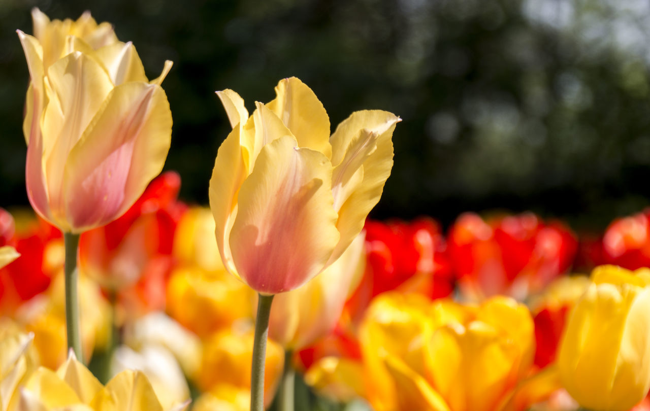 April Beauty In Nature Bokeh Day Festival Flower Flower Head Flowers Fragility Freshness Growth Italy Nature Nature No People Outdoors Plant Pralormo Spring Spring Flowers Tulips First Eyeem Photo