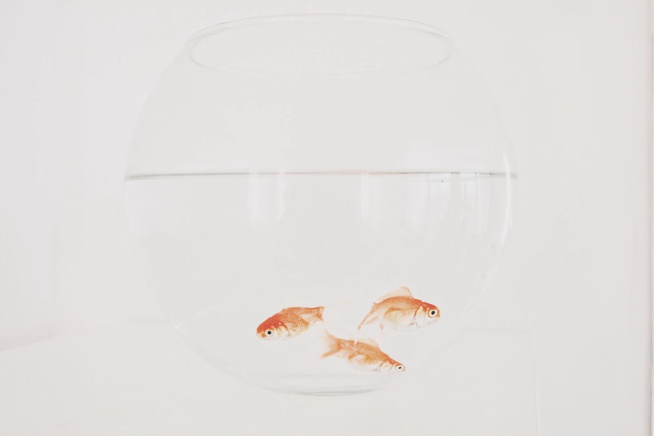 Beautiful stock photos of transparent, Animal Themes, Bowl, Close-Up, Fish