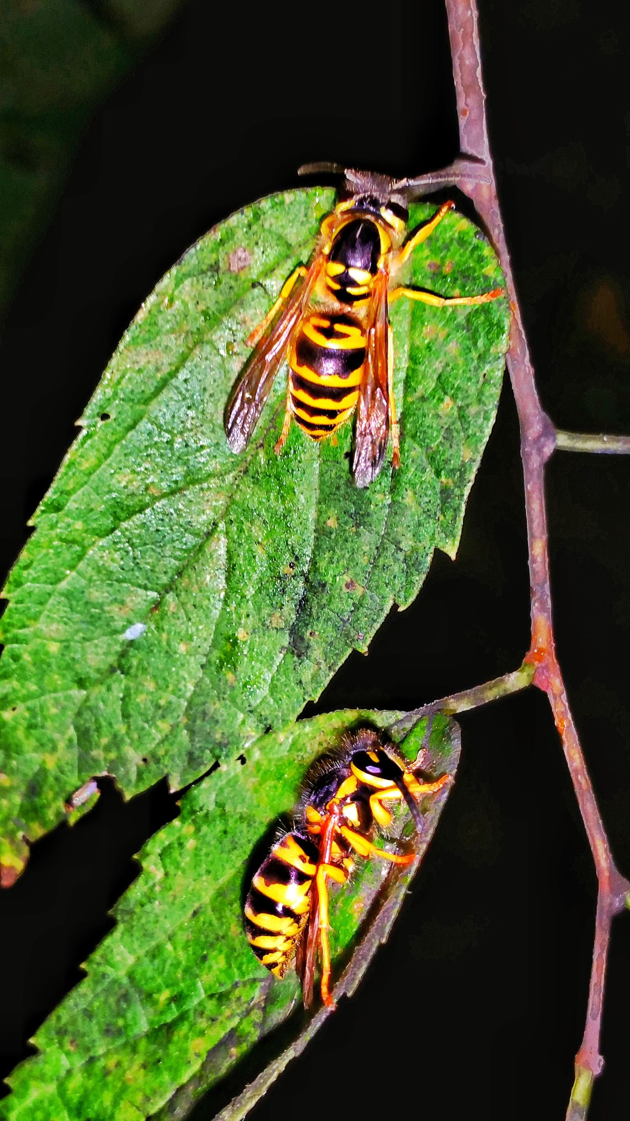 Yellow Jackets Wasp Vertical Night Nature Animal Wildlife Animals In The Wild Insect Bees Side View Angle Animal Themes Stinging Close-up Outdoors 2 Of A Kind Macro Photography Macro Leaf Insect Photography Pest Double Trouble Dangerous Animals Dangerous Stay Away