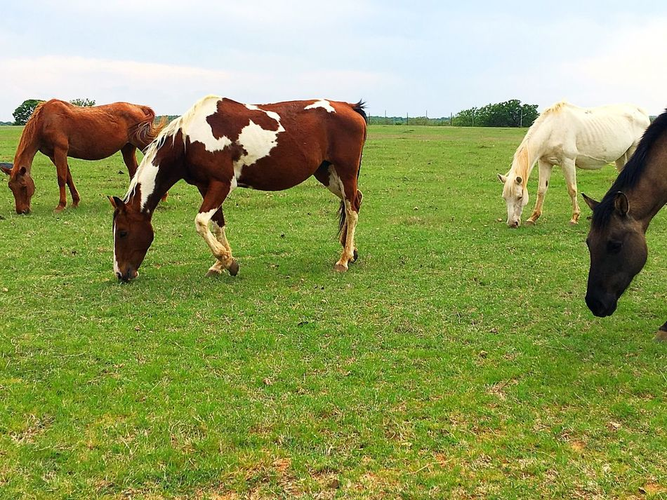 Horses Horse Photography  IPhone Iphoneonly IPhoneography Grass Livestock Farm Landscape Standing Rural Scene Grazing Domestic Animals Field Environment Pasture Nature Outdoors Sky Mammal Beauty In Nature No People Day Backroads Countryside