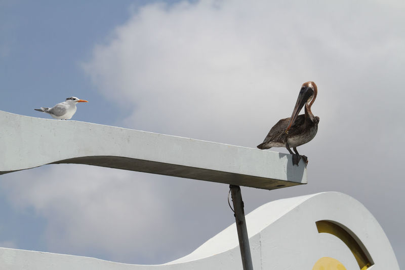 Animal Animals In The Wild Bird Cloud - Sky Nature Observing On Top Of Outdoors Pelican Seagull Small And Big Togetherness Tranquility Two Animals Two Birds Two Birds Sitting Two Birds Talking To Each Other Wildlife