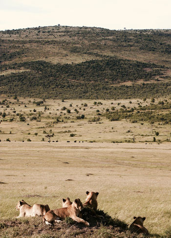 Picture taken at Masai Mara National Park, Kenya Animal Animal Themes Animal Wildlife Animals In The Wild Arid Climate Day Grass Holiday Kenya Landscape Large Group Of Animals Lion - Feline Lion Cub Lioness Mammal Masai Mara Masai Mara National Park Nature No People Outdoors Safari Animals Travel Destinations